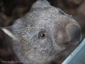 Jak się karmi małego wombata